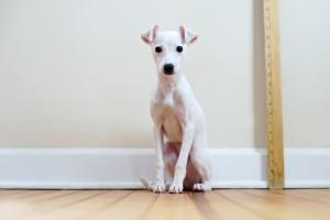 Galgo filhote branco