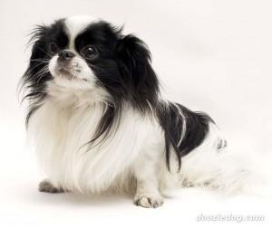 cachorro spaniel japones preto e branco