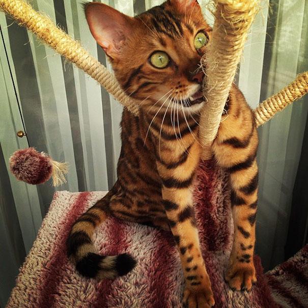 bengal-cat-spots-fur-thor-23