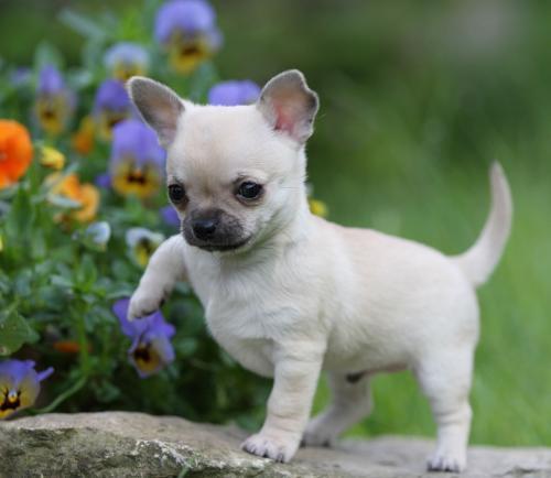 Melhores raças de cães para apartamento