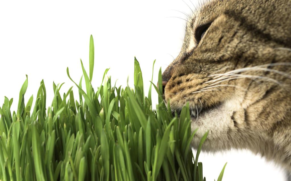 catnip-erva-para-gatos