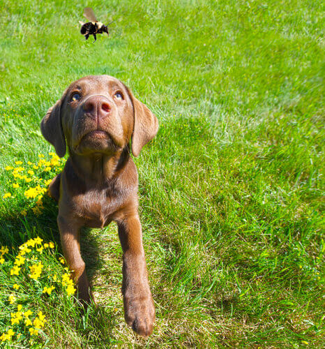 cachorro abelha