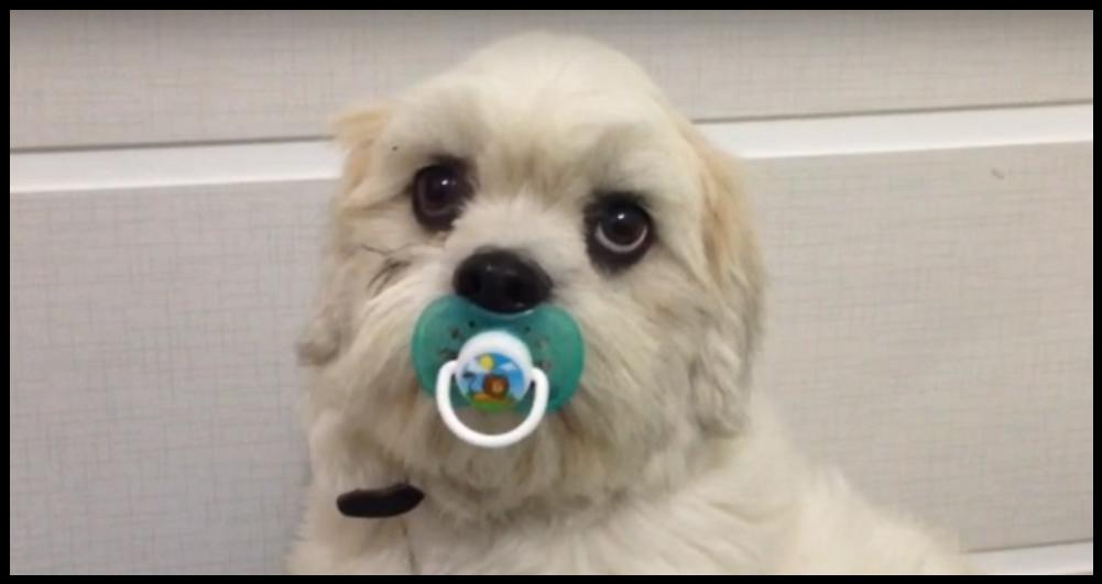 Prefiro a chupeta: cachorro chupando bico é sucesso no YouTube e vai na Eliana no SBT – veja o vídeo