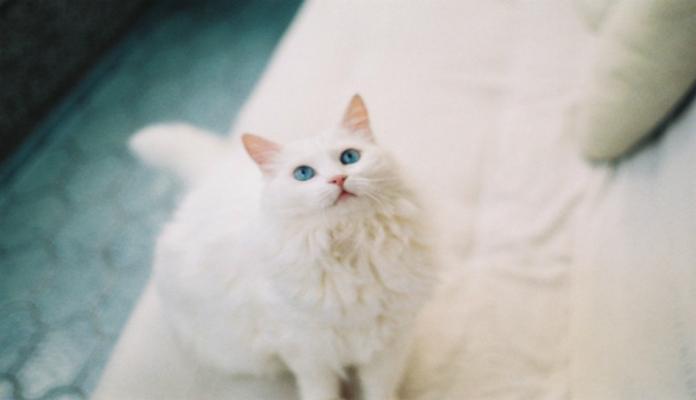 Angorá – Raças de gatos