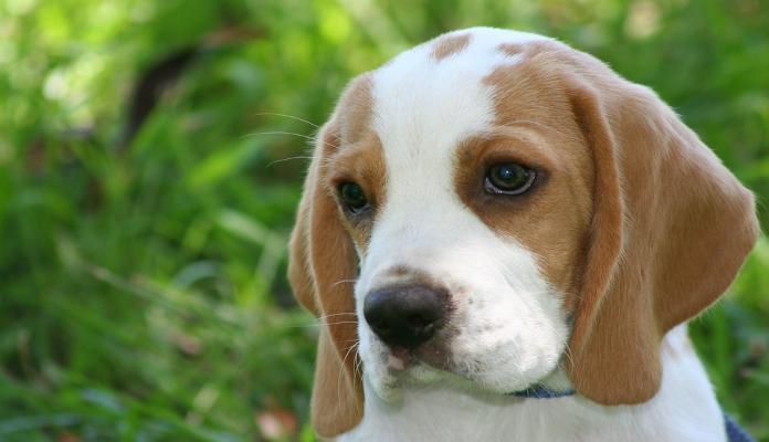 Beagle – Raça de Cães