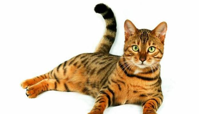 Gato de Bengala -Raça de gatos