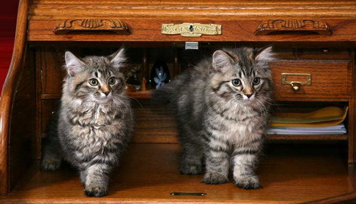 American Bobtail – Raça de Gato