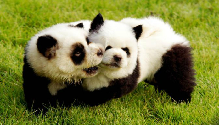 Chow Chow Branco e Preto? Ou um Panda? Descubra!