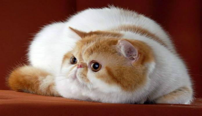 Gato Exótico – Raças de Gatos