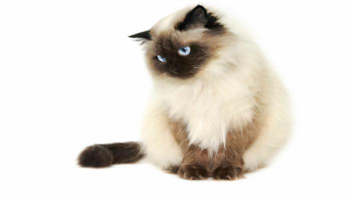 Himalaia – Raça de Gatos