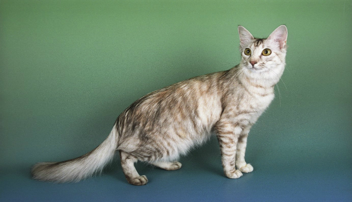 Gato Oriental de Pêlo Comprido – Raças de gatos