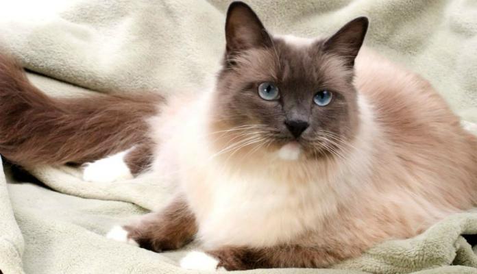 Gato Sagrado da Birmania – Raças de Gatos