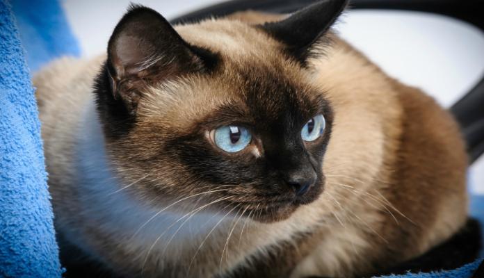 Siamês – Raças de Gatos