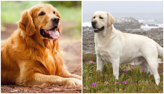 Golden ou Labrador, qual você prefere?