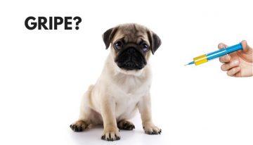 Gripe: Vacina para prevenir também nos pets