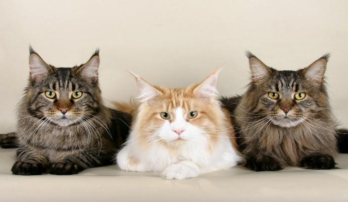 Gato Maine Coon – Raças de Gatos