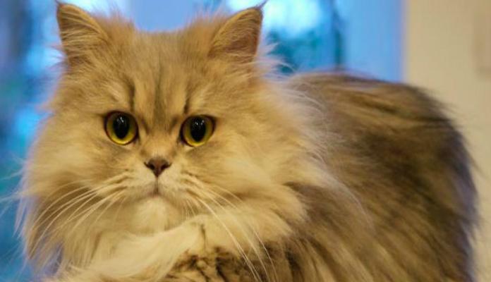 Persa – Raças de Gatos