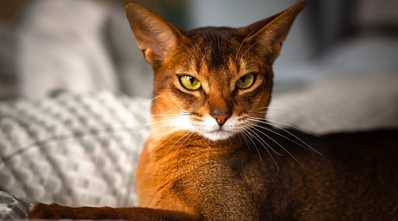 Gato Abissínio – Raça de Gatos