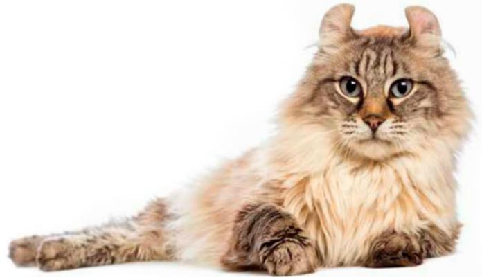 Gato Curl Americano – Raças de Gatos