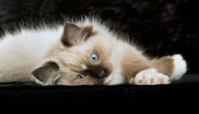 Ragdoll – Raças de Gatos