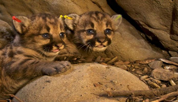 filhotes de gatinho leão