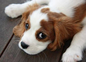 Cavalier-King-Charles-Spaniel-Close-Up