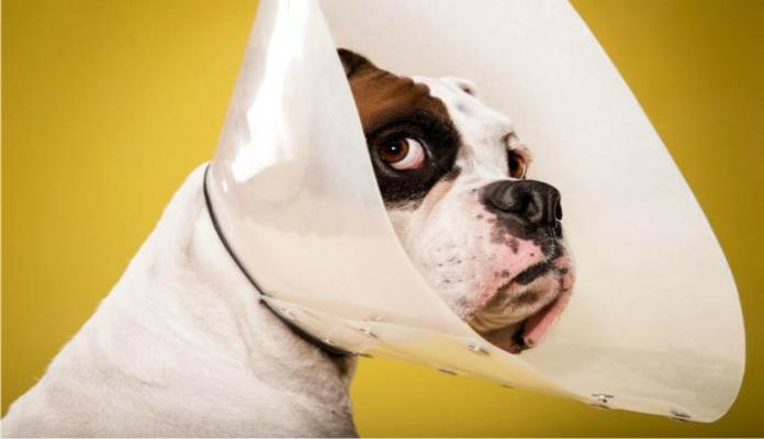 Pós Operatório nos cães