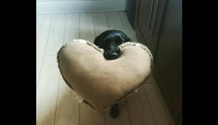 Cadela recebendo donos com almofada de coração virou hit na web