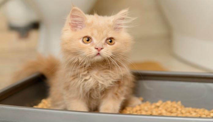 Caixa de areia para gatos – Como treinar o felino para usar