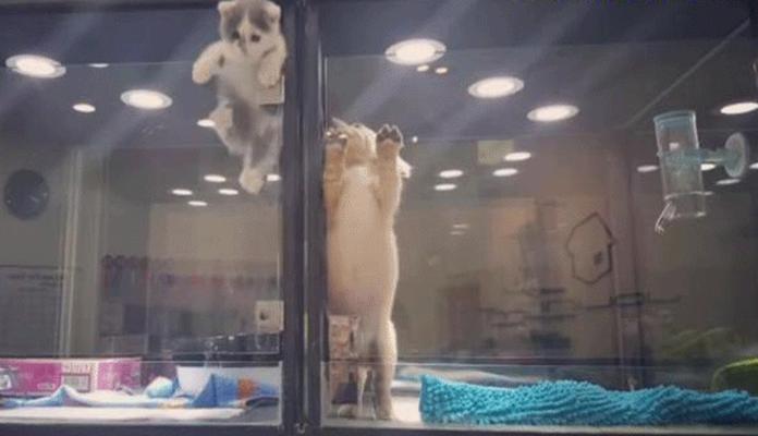 Gatinho 'foge' de vitrine de pet shop para brincar com amigo cão