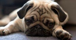 Cães precisam de atenção para ter uma vida saudável