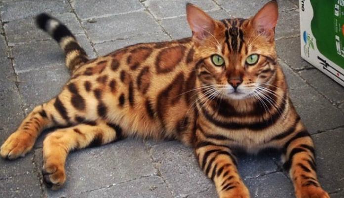 Thor – o gato bengal