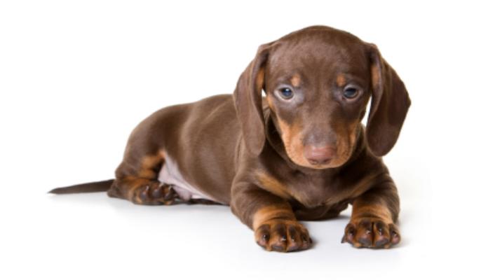 Dachshund – Raça de Cães