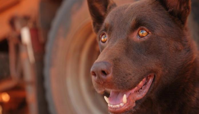 Cão vermelho – Filme
