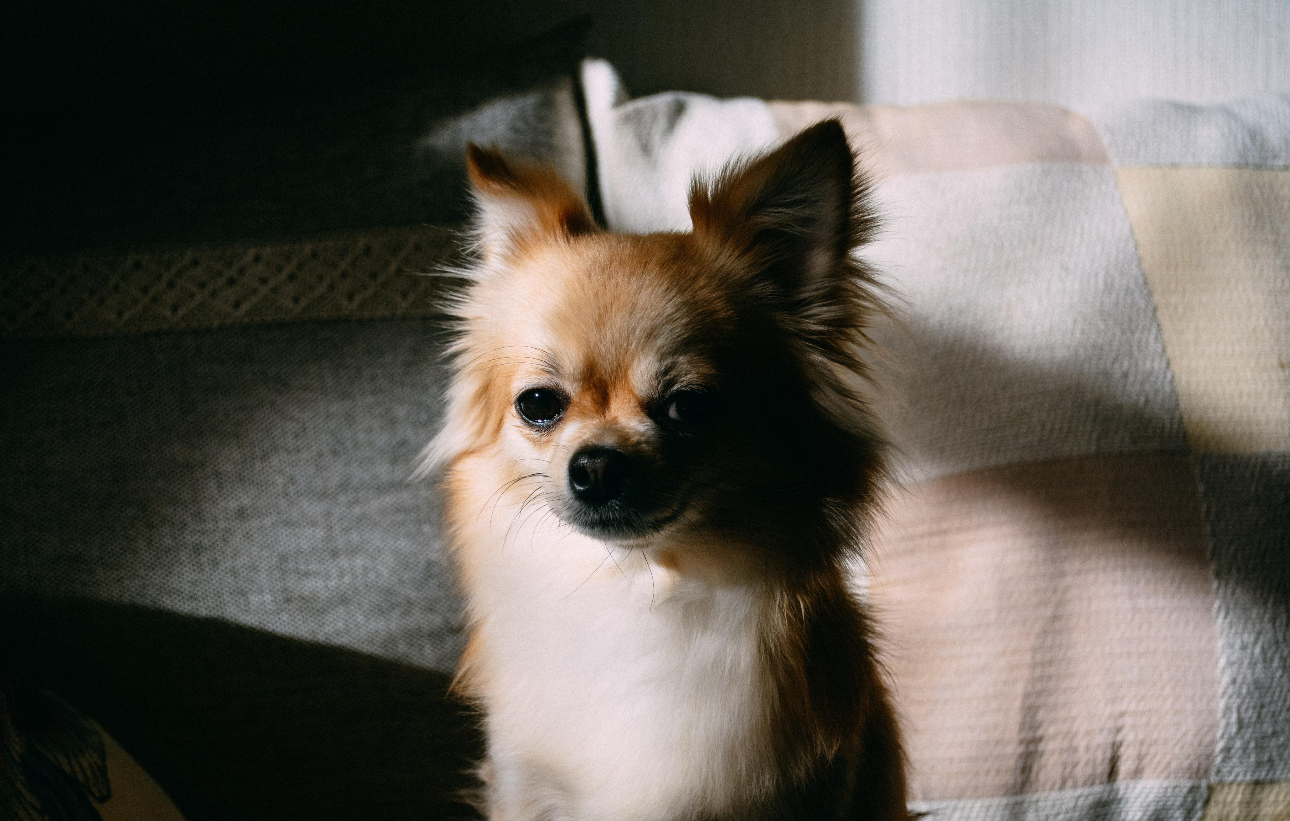 Chihuahua – Raça de Cães