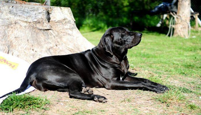 Fila Brasileiro – Tudo sobre Cães e Gatos