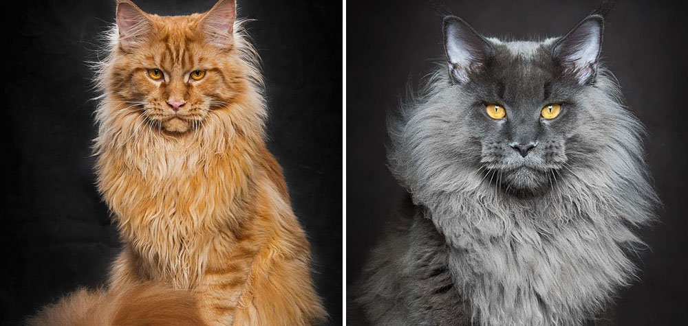 Fotógrafo captura a beleza do maior gato do mundo – Maine Coon