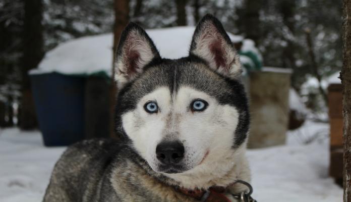 Husky Siberiano – Raça de Cães