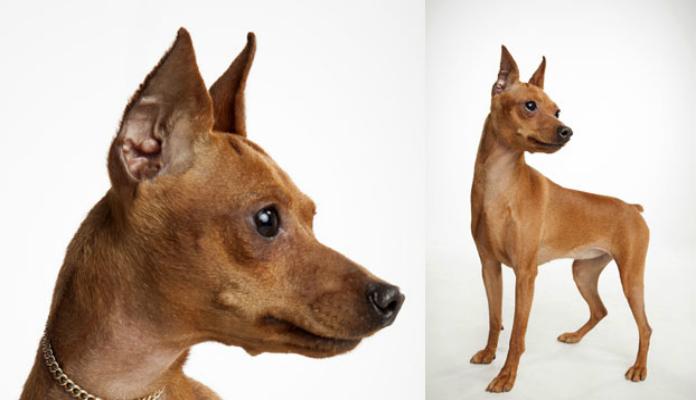 Pinscher Miniatura – Raça de cães