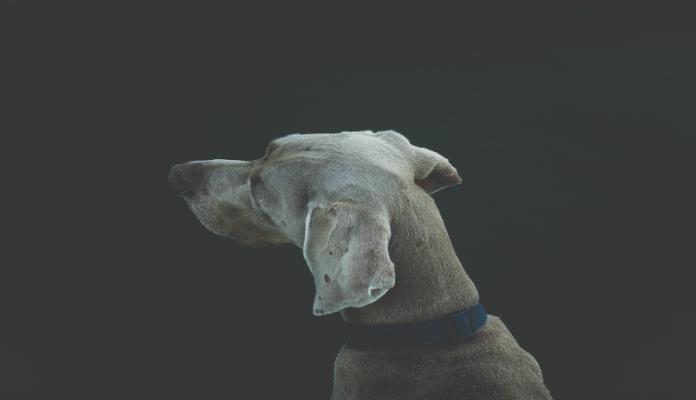 As orelhas dos cães – Um meio de comunicação