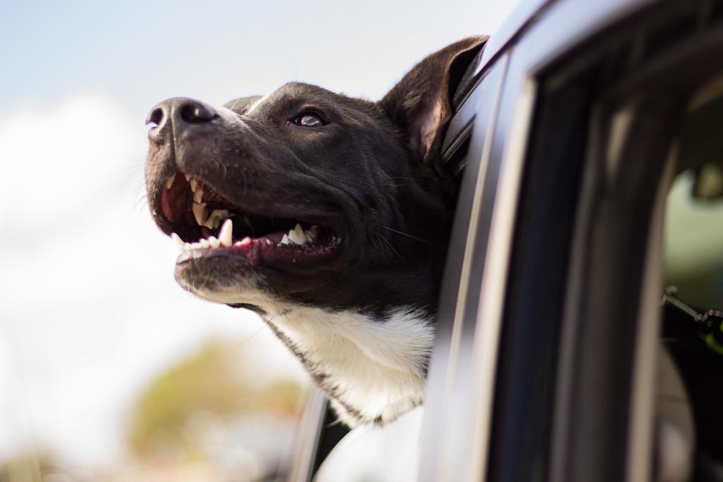 cão sentindo o vento na janela do carro
