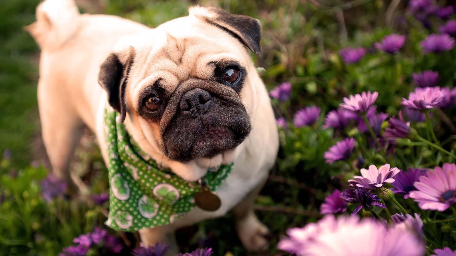Pug – Raça de cães