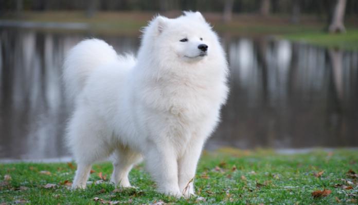 Samoieda – Raça de Cães