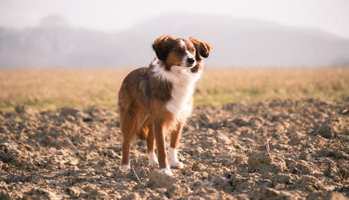Trombocitopenia em cães