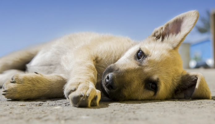Vermífugo para cães