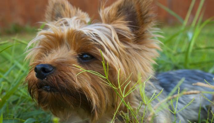Yorkshire Terrier – Tudo sobre Cães e Gatos