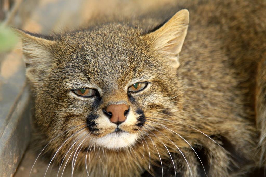 gato-dos-pampas