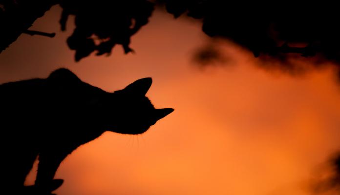 Gatos selvagens – Conheça os mais raros