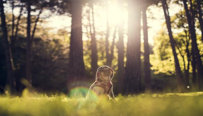 Sintomas da raiva em cachorro