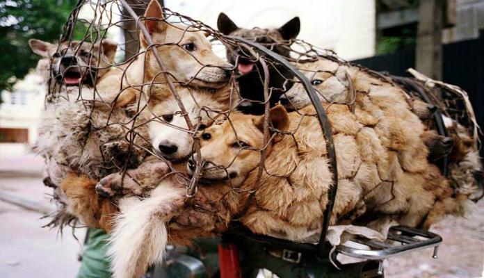 Aposentada gasta fortuna para salvar 100 cães de festival na China